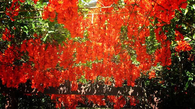 Cara Menanam Bunga Flame Of Irian