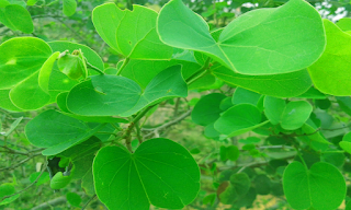 Apta Tree leaves