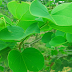 Apta plant,dasara leaf or bauhinia tree.