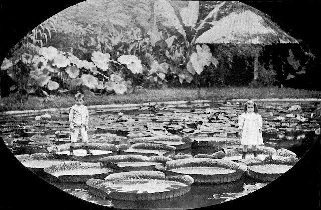 giant water lillies 1912