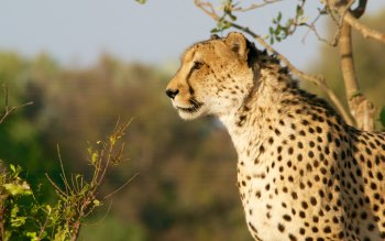 Wallpaper: Cheetahs in Kruger National Park