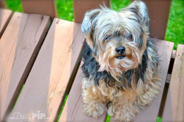 Mighty Pip's classic Yorkie look with the fur in his eyes