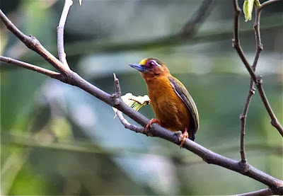 White browed Piculet