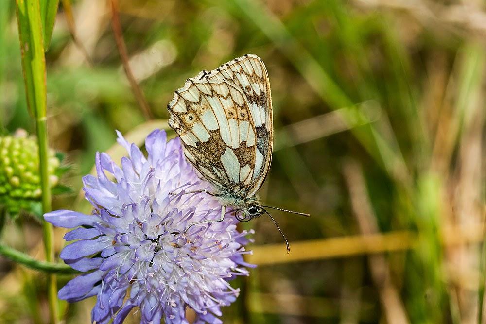 Marbled White - Stony Stratfford Nature Reserve, Milton Keynes (2013)