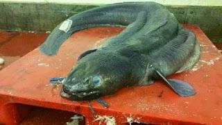 Belut Raksasa Bermata Biru Tertangkap Nelayan dan Bikin Heboh