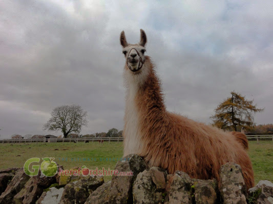 Alpaca at Brockhampton Herefordshire