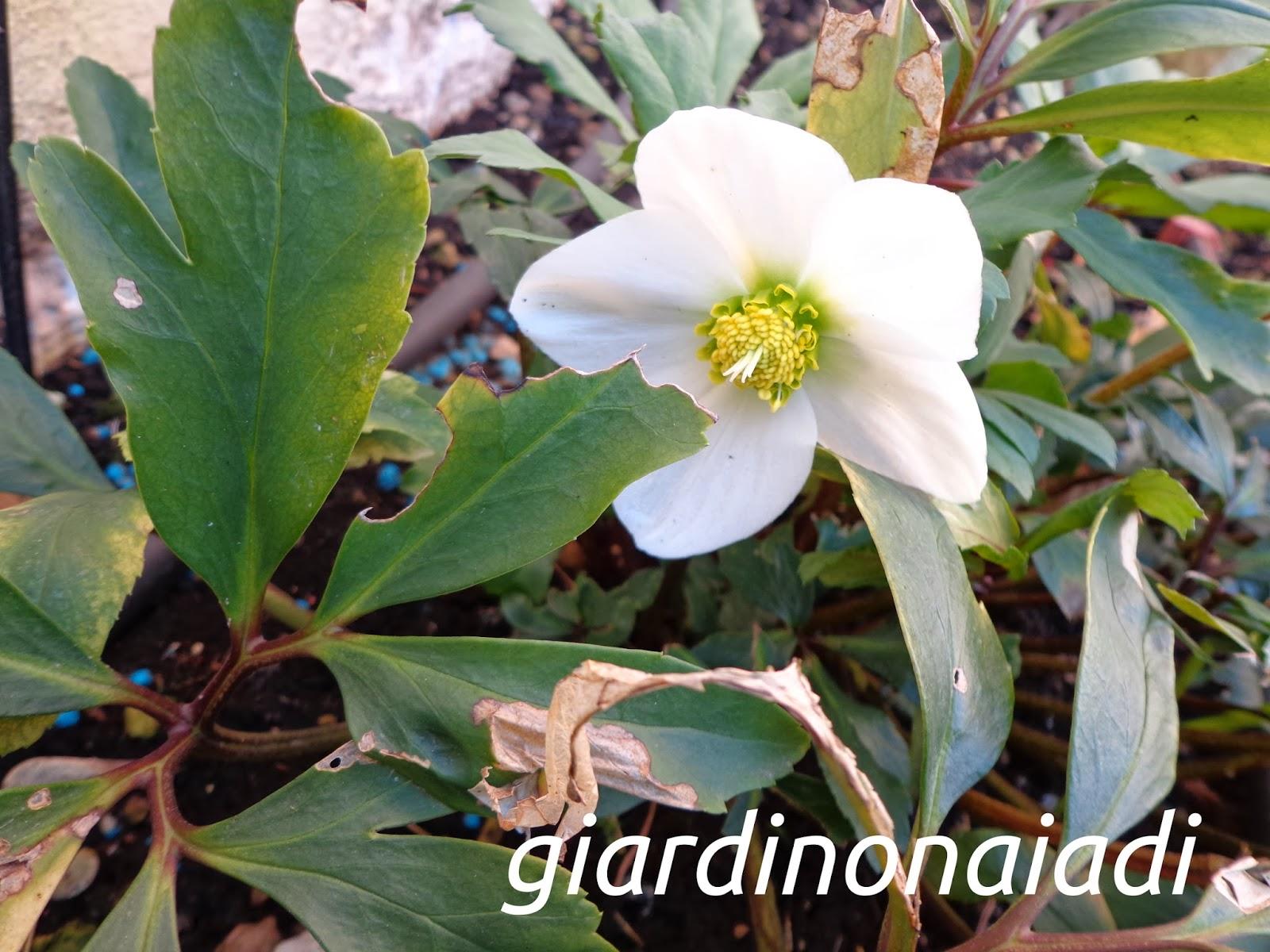 Rosa Secca Cosa Fare il giardino delle naiadi: helleborus, la rosa d'inverno