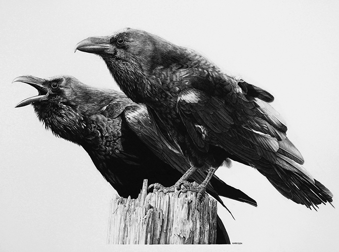 13-Thought-and-Memory-Raven-William-Bill-Harrison-Majestic-Wildlife-Carbon-Pencil-Drawings-www-designstack-co