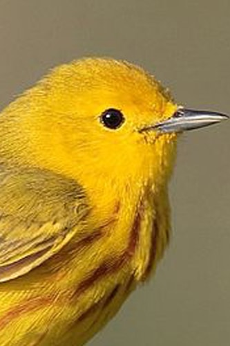 Yellow Canary Birds - Everything You Need To Know About Yellow Canary Pet Birds