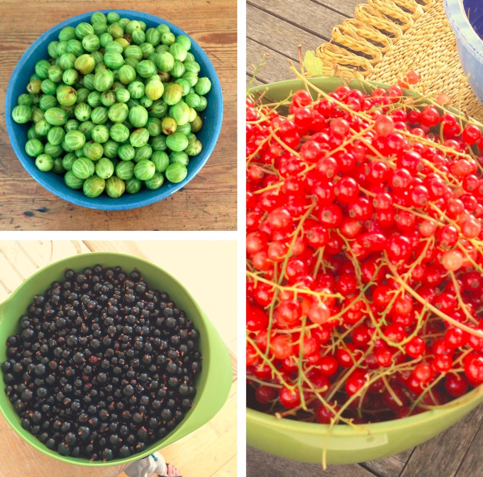 Solbær, ribs og stikkelsbær, bær, have, sommer, sol, pluk selv, syltetøj, familie, bedste, landet, stevns,