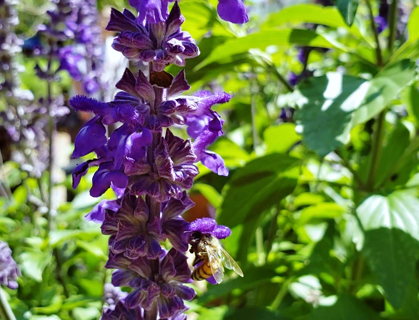 Bee on blue salvia plant