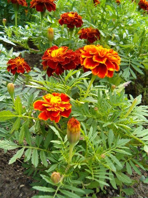 Κατηφές-Tagetes patula- French Marigold