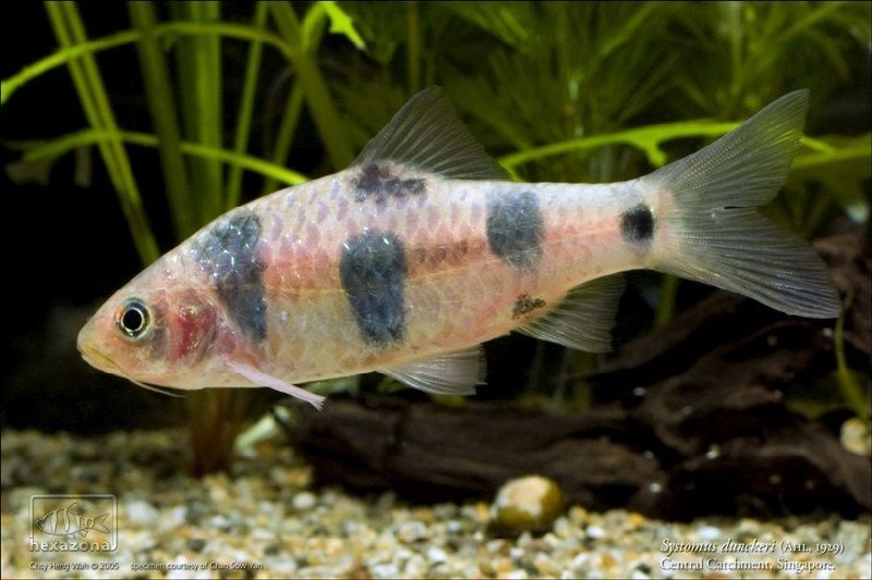 69. Jenis Ikan Hias Aquascape Clown Barb