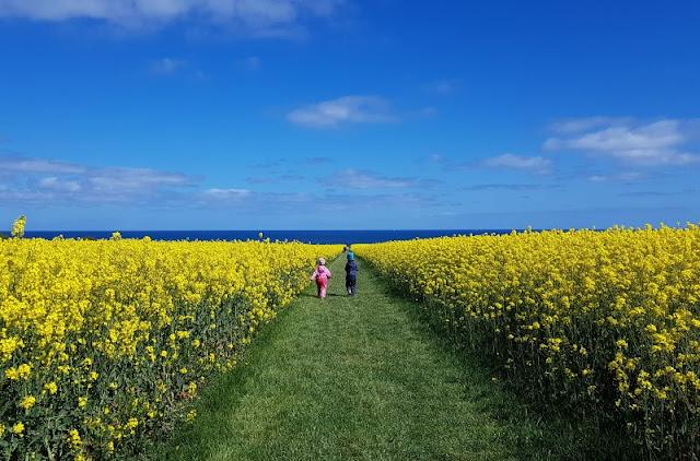 Hier bei uns im Norden: Die Rapsblüte in Schleswig-Holstein. Auf Küstenkidsunterwegs zeige ich Euch mit vielen Bildern, wie schön es ist, wenn der Raps blüht, und, wie auf unserem Ausflug mit den Kindern nach Hohenfelde, die Rapsfelder bis an die Ostsee heran reichen.