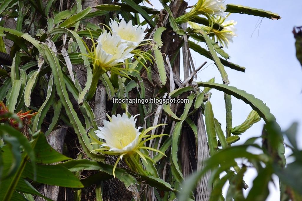628072beceb98 Descripción de la planta de la Pitahaya