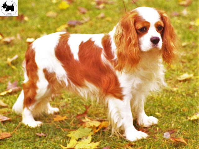 Cavalier King Charles Spaniel, dog information, Dog facts, Best dog Breeds