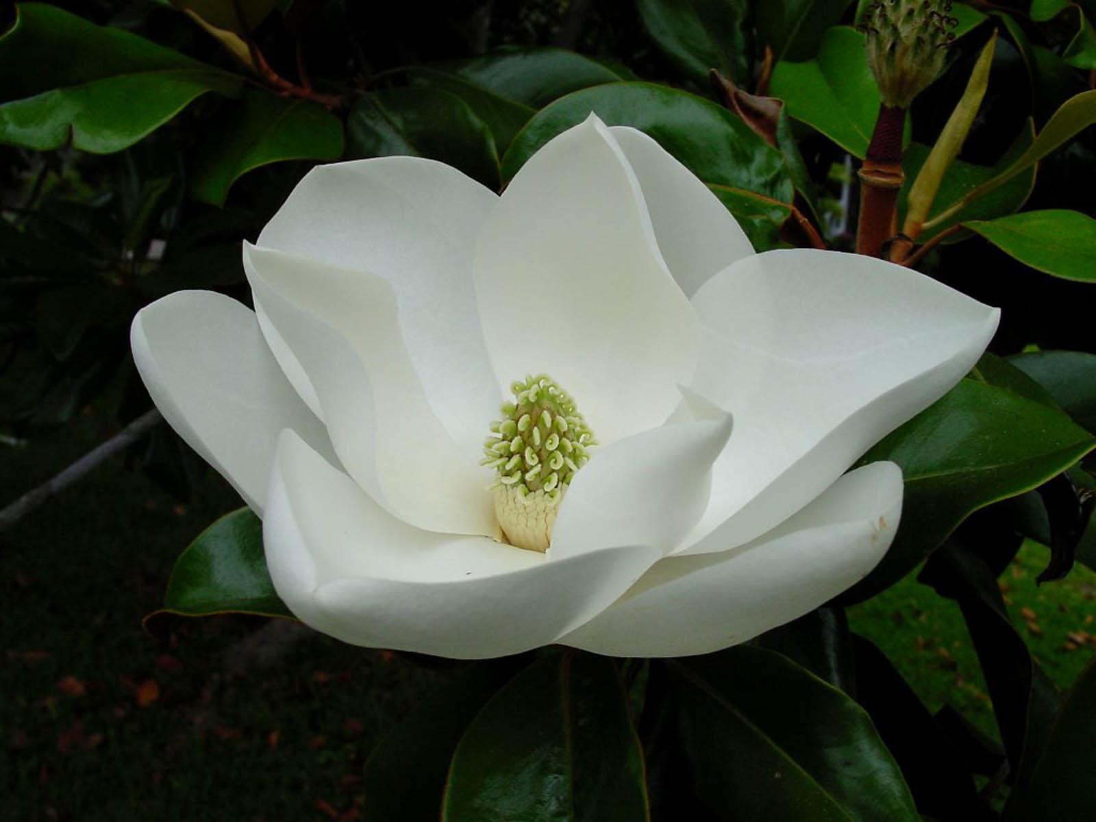 wallpaper: Magnolia Blossom