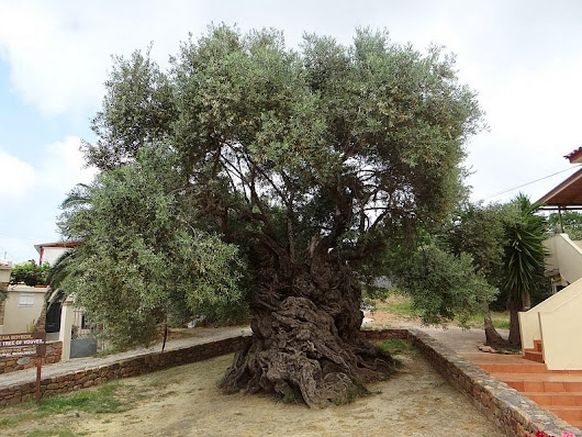 Some interesting facts about olive oil