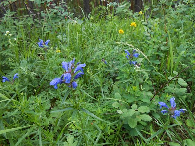 Цветы в окрестностях горы Сугомак