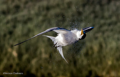 Swift Tern Dive Shake-Off - Woodbridge Island Canon EOS 7D Mark II