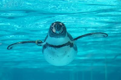 プールを泳ぐフンボルトペンギン