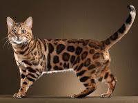 5 Cara Merawat Kucing Hutan Jawa Agar Jinak