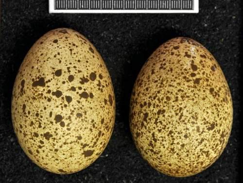 Lophophorus impejanus - eggs