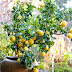 #Gardening : Container grown lemon tree