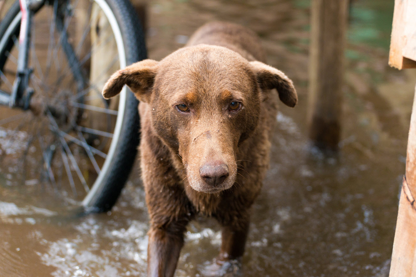 Emergency Planning for Pets Kelpie cross lost in flood waters