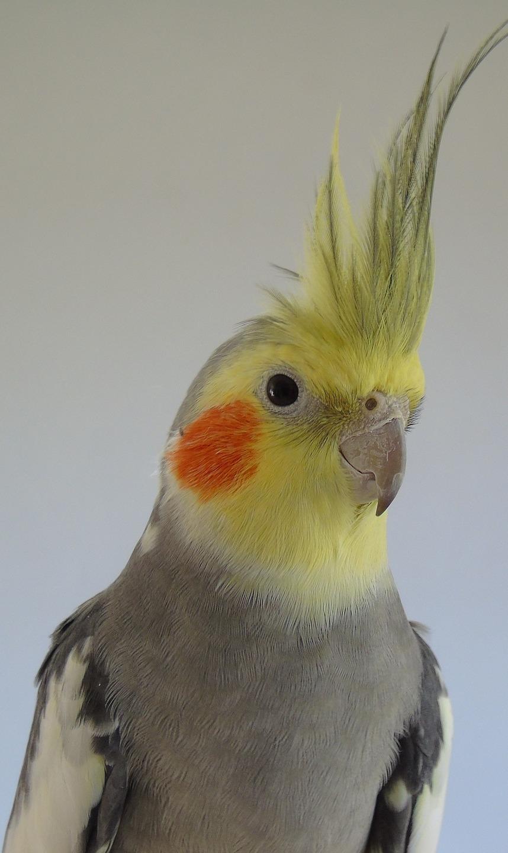Australia's parrot.