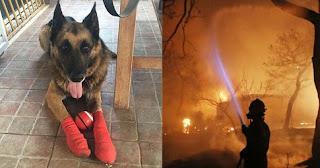 Το λυκόσκυλο που βρέθηκε στο Μάτι με καμένες πατούσες υιοθετήθηκε από νέα οικογένεια