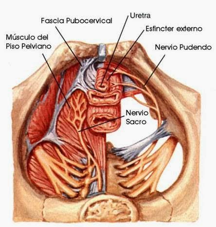 Cuerpo sano; recibo Osteopatía Profesional: Dolor perineal; Síndrome ...
