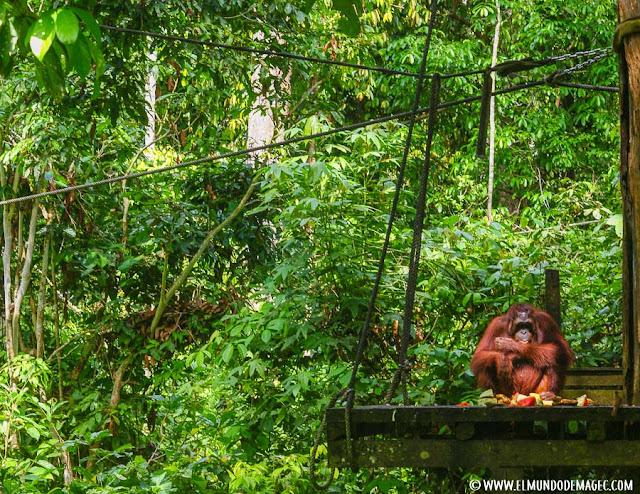 ver-orangutanes-en-borneo-sepilok-plataforma de alimentación