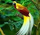 ماذا تعرف عن طائر الفردوس الريجاتى Raggiana Bird Of Paradise