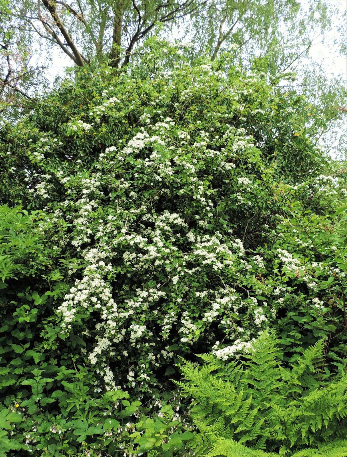Ramblings Of A Naturalist House Circuit 7 White Flowering Trees