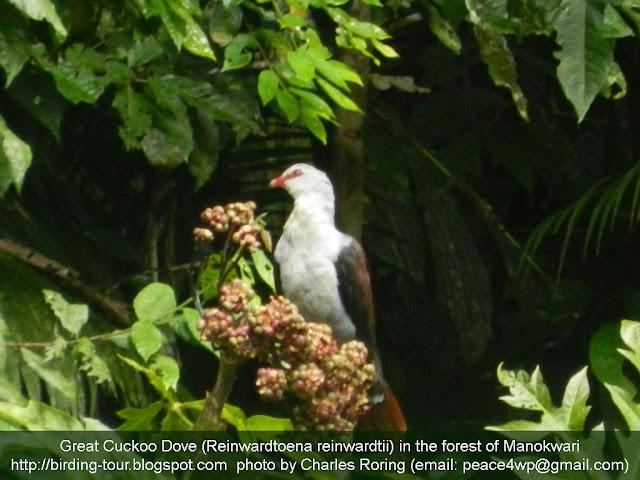 Birding trip in Manokwari of West Papua