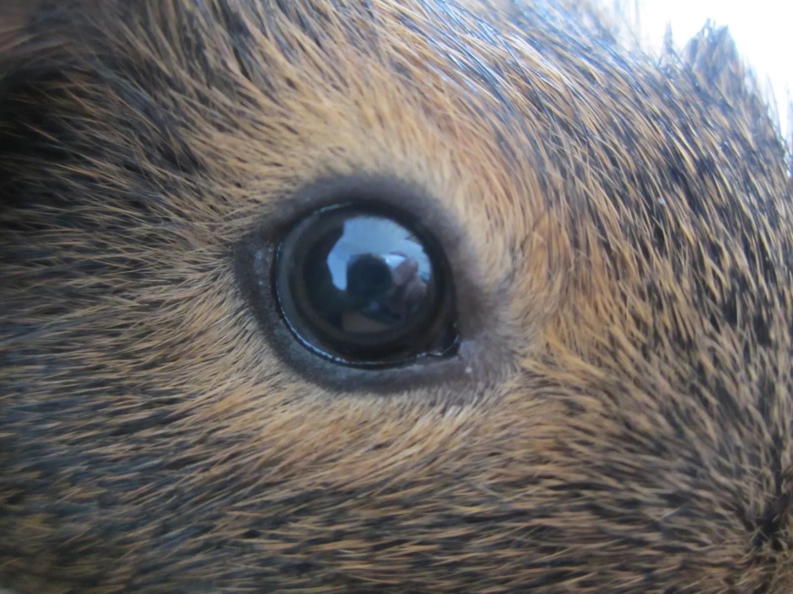 ojo de cobaya