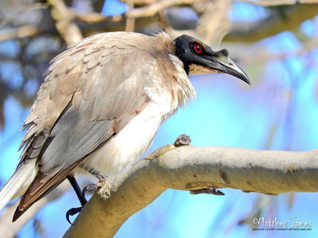 NOISY FRIARBIRD - STRANGER POND