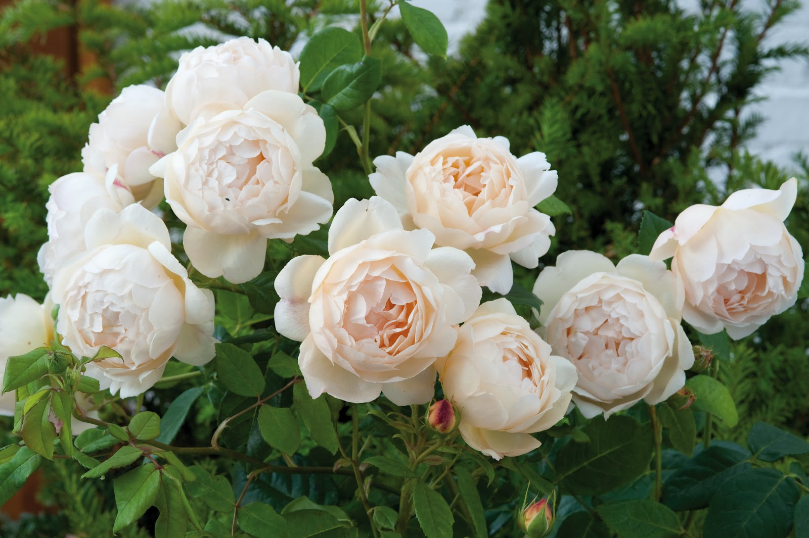 Rose Lovers 13 May Be Be Your Lucky Number The Dirt