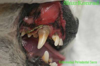 Cachorro que edad dientes tiene dientes limpios Cachorra ShurKonrad Enfermedad Periodontal Sarro puppy dog