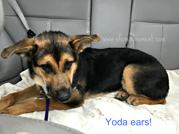 German Shepherd puppy, looking like Yoda