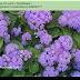 Hoa Cỏ xanh ( Ageratum houstonianum,AGE00171)