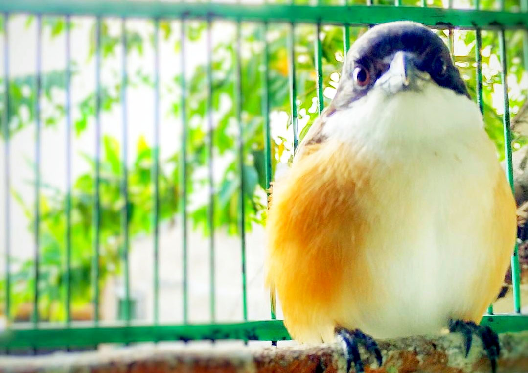merupakan salah satu burung pendekar favoritnya para kicaumania Mp3 Suara Masteran Untuk Burung Cendet