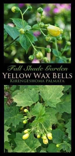 Yellow Wax Bells for Shade