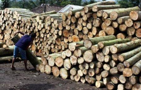 Peluang Usaha Budidaya Pohon Sengon/Albasia