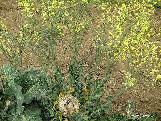 Λάχανο σπορά φύτεμα καλλιέργεια