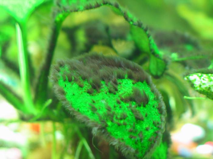 Rêu hại bám vào lá cây thủy sinh