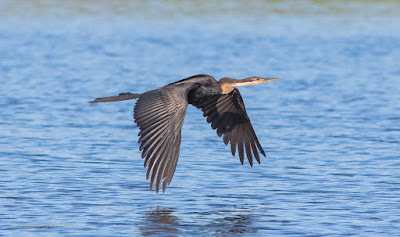 Darter in Flight - Woodbridge Island, Cape Town