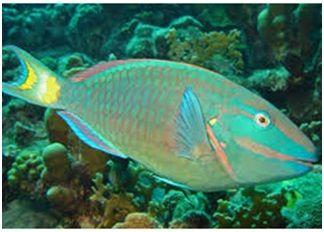 Jenis Ikan Laut Hias Aquarium Parrotfish