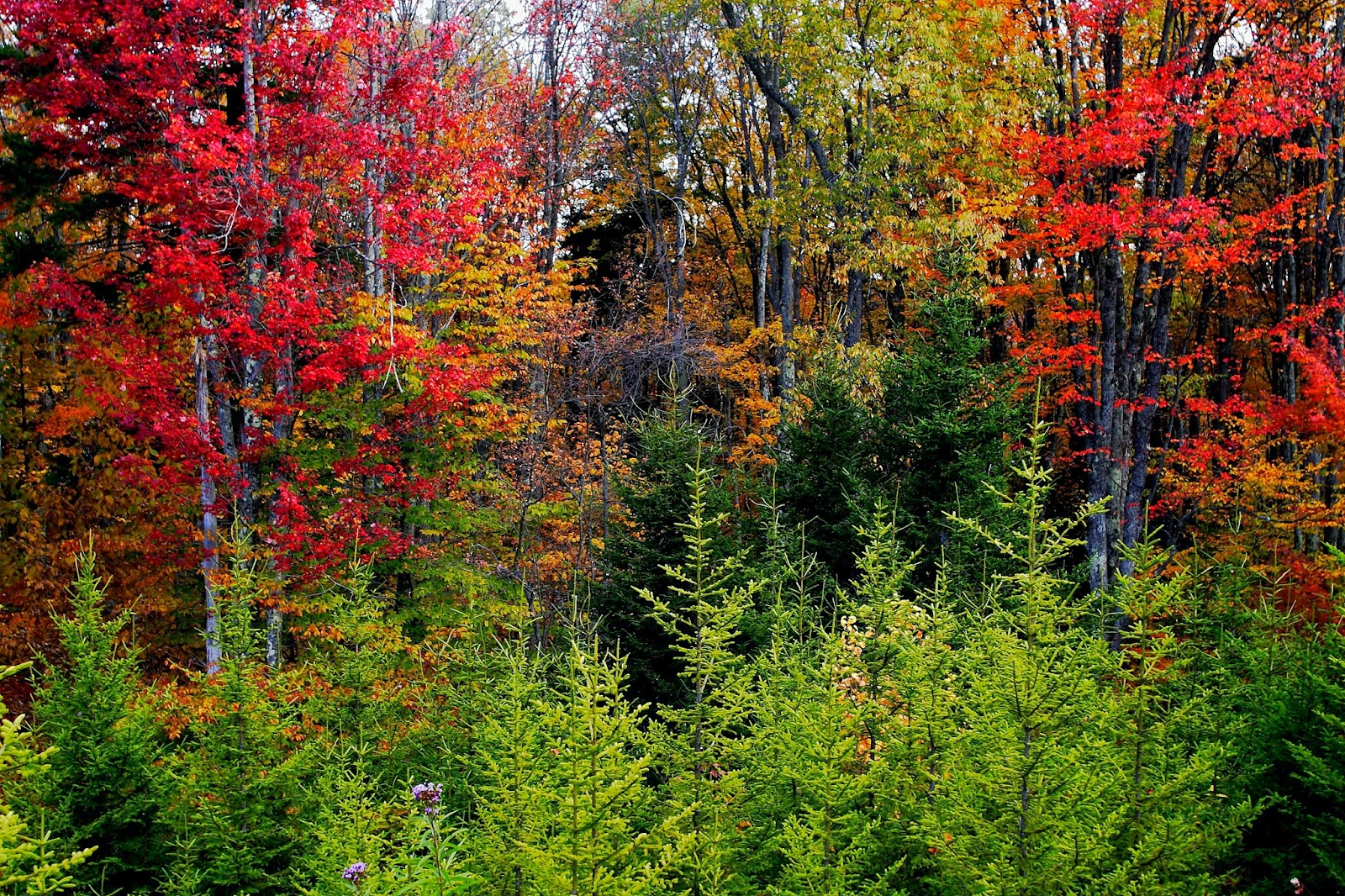 Perfect for a background or even a wall mural this autumn foliage picture was taken in the West Virginia mountains near the Cheat River. Small pine trees cover the base of the forest in this colorful fall foliage picture. It is said that there are a lot of black bear around this area, we are hoping to see one.  Picture Height: 2304 pixels Picture Width: 3456 pixels Lens Aperture: f/5 Image Exposure Time: 1/25 sec Lens Focal Length mm: 28 mm Photo Exposure Value: 0 EV Camera Model: Canon EOS DIGITAL REBEL XT Photo White Balance: 0 Color Space: sRGB ForestWander Nature Photography: ForestWander.com ForestWander: ForestWander Nature Photography